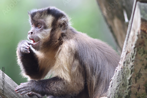 Capuchin Monkey with interesting expression on his face Canvas Print