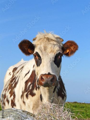 Poster de jardin Vache Vache normande 2