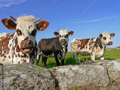 Photo sur Aluminium Vache Les normandes