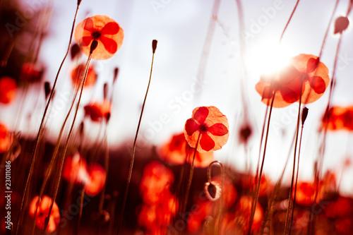 Foto-Duschvorhang - Poppy Fields