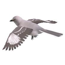 Northern Mockingbird. 3D Rende...