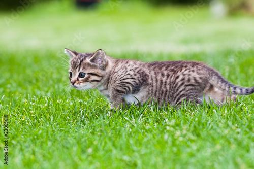 Naklejki koty   maly-kotek-gra-na-trawie