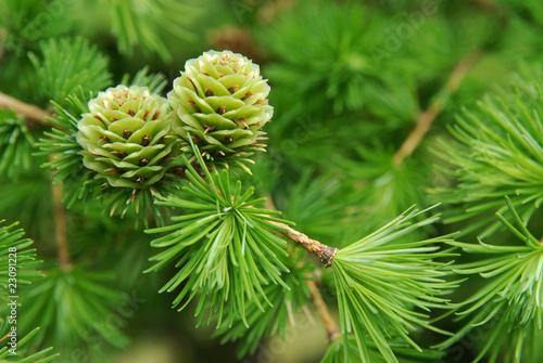Canvas Print young larch cones, larch tree