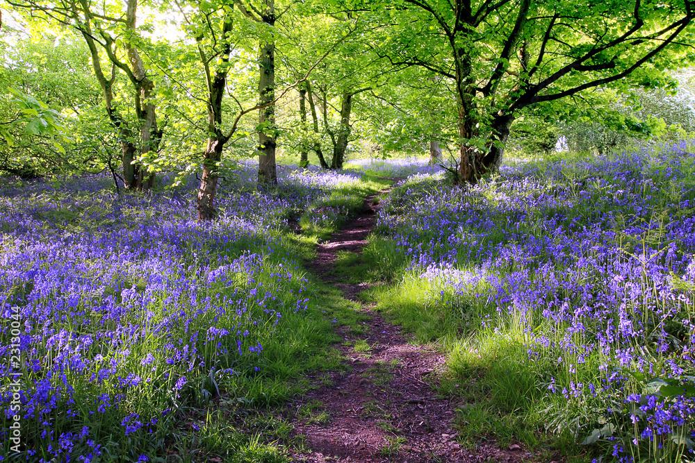 Fototapeta Blue bells forest
