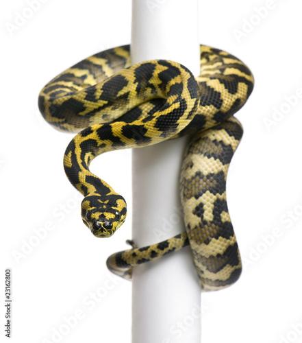Cuadros en Lienzo Morelia spilota variegata python, 1 year old, on pole