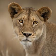 Close-up Portrait Of Serengeti National Park, Serengeti