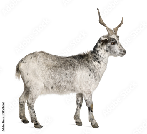 Deurstickers Ezel Rove goat, 5 years old, standing in front of white background
