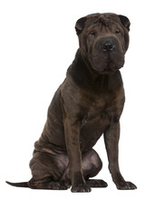 Shar Pei, 1 Year Old, Sitting In Front Of White Background