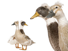 Close-up Headshot Of Male And Female Crested Ducks, 3 Years Old