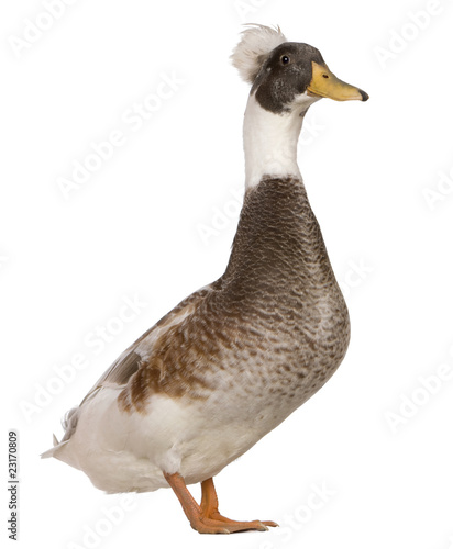 Photo Male Crested Duck, 3 years old