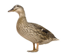 Female Mallard, 1 Years Old