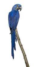 Hyacinth Macaw, 1 Year Old, Perching On Branch