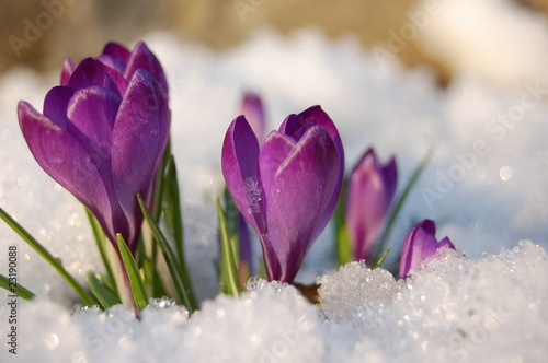 Printed kitchen splashbacks Crocuses krokus
