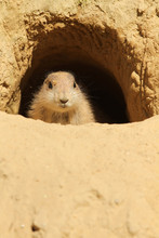 Baby Prairie Dog Looking Out O...