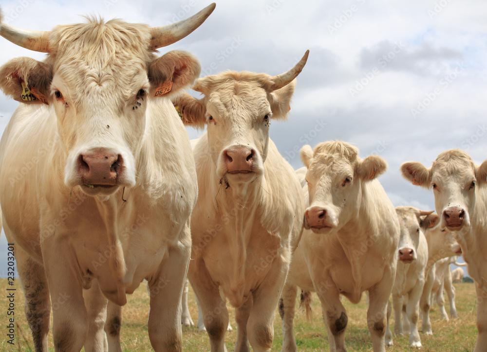 Fototapeta Blondes d'Aquitaine cows