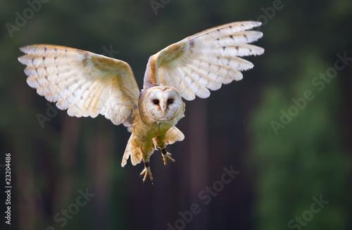 Tuinposter Uil Fliegende Schleiereule
