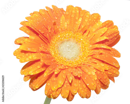 Tuinposter Gerbera Drop of dew on the Petal