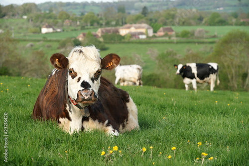 Photo sur Toile Vache animal ferme vache 28