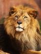 Portrait of African Lion