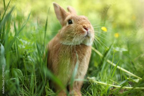 Fotografie, Obraz  Rabbit in green grass