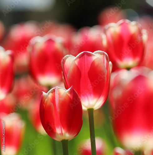 Red tulips background Poster