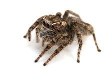 Jumping Spider Isolated Over W...