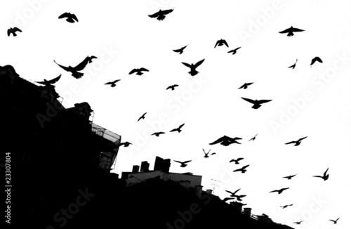 Fototapeta Pigeon in Krakow (black/white) obraz