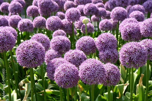 Photo Giant Onion (Allium Giganteum) blooming in a garden