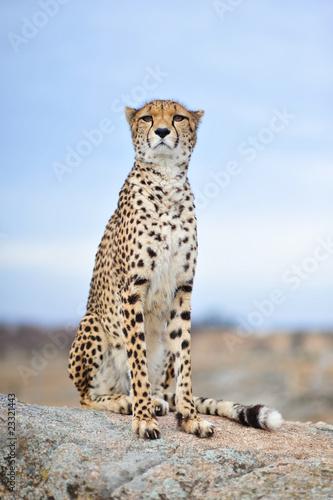Cheetah 13