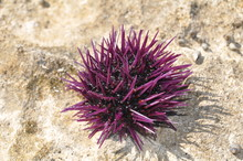 Strongylocentrotus Purpuratus - Sea Urchin