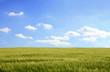 canvas print picture - corn field and cloudy blue sky