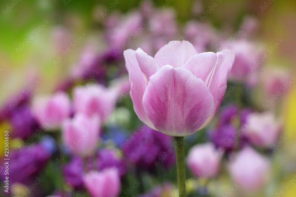 Fototapety, obrazy: tulpen