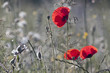 red poppies *8*