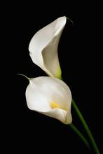 Three White Calla Lily On A Bl...