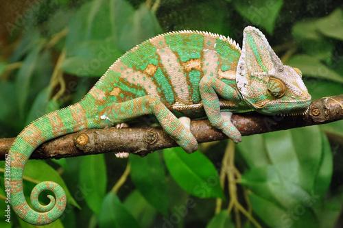 Foto op Aluminium Kameleon Chameleon-02