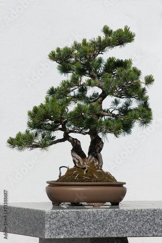 Fotobehang Bonsai Bonzai tree