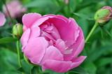 fiore rosa di peonia