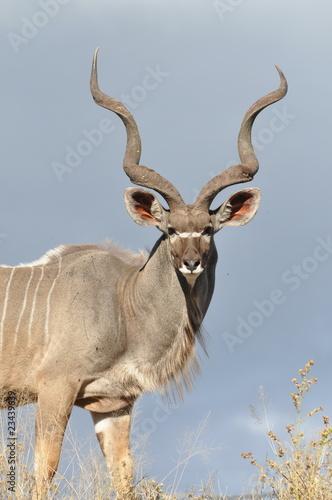 Poster Antelope Male Kudu Antelope