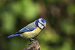 Blue tit at green background
