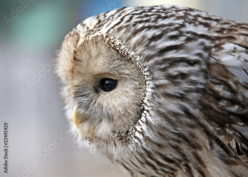 Poster Owl Ural owl hunting-close up