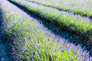 Fototapeta Lawenda lavender field, Drome Department, Rhone-Alpes, France