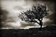 Windswept Tree Wallpaper