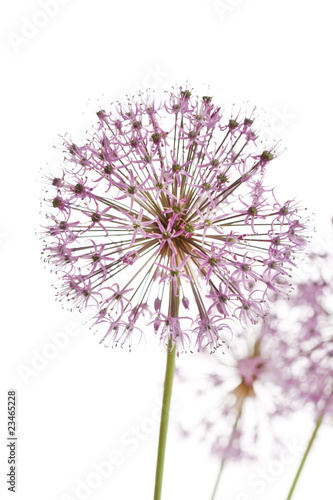 Fototapeta Czosnek - kwiaty  close-up-of-the-flowers-of-some-chives