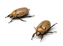 Grapevine Beetles