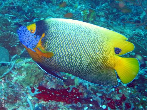 Poster Sous-marin Blaumasken-Kaiserfisch
