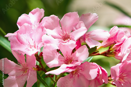 Pink oleander flower buy this stock photo and explore similar pink oleander flower mightylinksfo