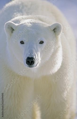 Papiers peints Ours Blanc Polar Bear, Churchill, Manitoba, Canada.