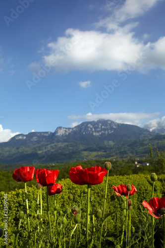 Poppies on a background of the Alpine mountains #23509044