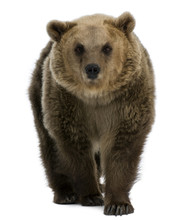 Female Brown Bear, 8 Years Old...