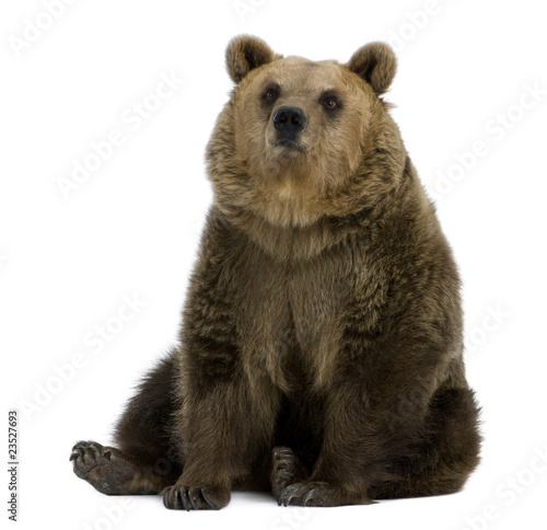 Female Brown Bear, 8 years old, sitting